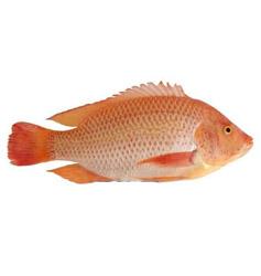 Mojarra roja de 1 acuagranja for Proyecto de piscicultura mojarra roja
